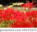 cluster amaryllis, red, lycoris radiata 44015975
