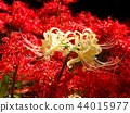 cluster amaryllis, red spider lily, lycoris radiata 44015977