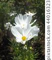คอสมอส,ดอกไม้,ฤดูใบไม้ร่วง 44016323