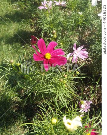 คอสมอส,ดอกไม้,ฤดูใบไม้ร่วง 44016325