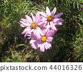 Pink flower of autumn flower cosmos 44016326