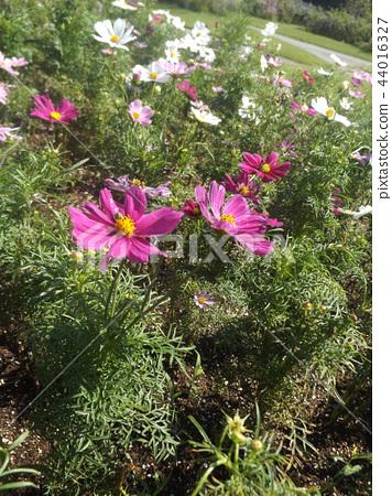 ดอกไม้ฤดูใบไม้ร่วงจักรวาลดอกไม้สีขาวและสีชมพู 44016327