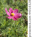 Pink flower of autumn flower cosmos 44016328