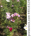 คอสมอส,ดอกไม้,ฤดูใบไม้ร่วง 44016329