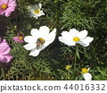 White flower of autumn flower cosmos 44016332