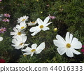 White flower of autumn flower cosmos 44016333