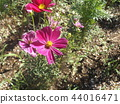 Pink flower of autumn flower cosmos 44016471