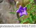 꽃, 플라워, 도라지 44017103