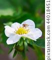 딸기, 스트로베리, 꽃 44018451