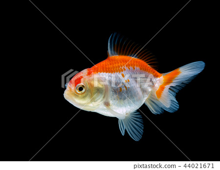goldfish isolated on a dark black background 44021671