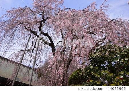 Nishi Asakawa-cho, the cherry blossoms of Kinnan-ji Temple Hachioji City 44023966