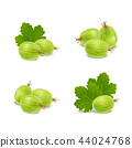 Realistic Detailed 3d Gooseberries with Green Leaves Icons. Vector 44024768
