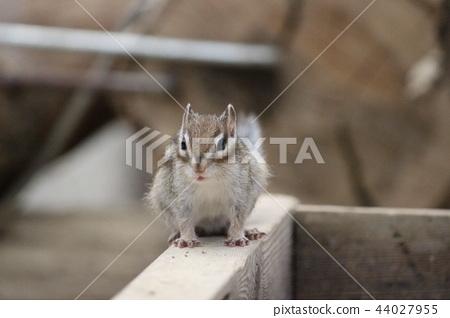花栗鼠用耳朵守衛 44027955