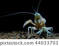 crayfish Procambarus clarkii ghost in the aquarium 44033703