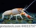 crayfish Procambarus clarkii ghost in the aquarium 44033797