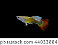 guppy fish in the aquarium 44033884