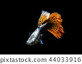 guppy fish in the aquarium 44033916