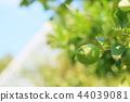 레몬의 열매 44039081