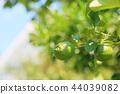 레몬의 열매 44039082