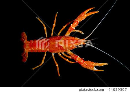 crayfish Procambarus clarkii  44039397