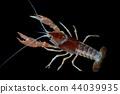 Crayfish in the aquarium 44039935