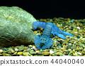 Crayfish in the aquarium 44040040