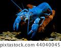 Crayfish in the aquarium 44040045