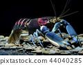 crayfish in the aquarium 44040285