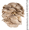 Oyster mushroom on white background 44040716