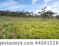 Siam tulip field Thung Bua Sawan View Point  44041528