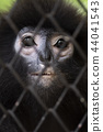 Life in cage concept. Sad Dusky leaf monkey in zoo 44041543