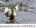 斑嘴鴨 水雞 鳥兒 44048822