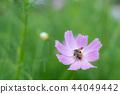 코스모스 꽃에 띄는 꿀벌 b 44049442