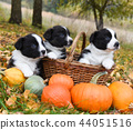 corgi puppies dogs with a pumpkin on an autumn background 44051516