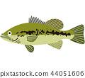 ปลา,ปลากะพงปากกว้าง,พื้นหลังสีขาว 44051606