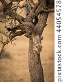 Cheetah cub climbing down thorn tree trunk 44054578