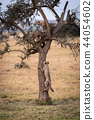 Cheetah cub climbs tree towards two others 44054602