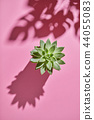 Top view shot succulent plant Echeveria with shadows from Monstera plant Philodendron the leaves on 44055083