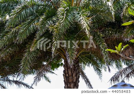 棕櫚樹,棕櫚葉 44058483