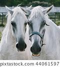 White Horses 44061597