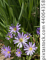 Pretty purple Grecian Balkan Anemone flowers close-up 44064358