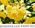 黃色嘲笑開花在三鷹中原 44065163