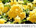 黃色嘲笑開花在三鷹中原 44065171
