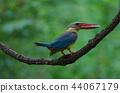 Stork-billed Kingfisher bird perching on a branch 44067179
