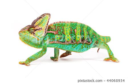 Veiled chameleon (chamaeleo calyptratus) close-up. 44068934