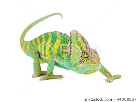 Veiled chameleon (chamaeleo calyptratus) close-up. 44068967