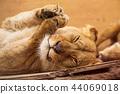 Portrait of a female lion resting. 44069018