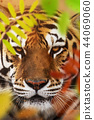 Close up of a Siberian tiger (Panthera tigris altaica). 44069060