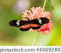 Butterfly Heliconius Hacale zuleikas, in nature habitat. 44069280