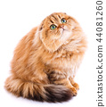 Animal, cat, pet concept - scottish cat on a white 44081260